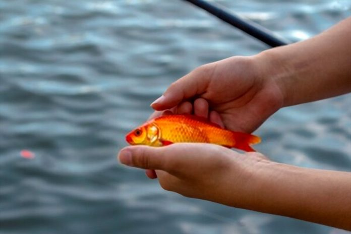 Is It Illegal to Fish with Goldfish
