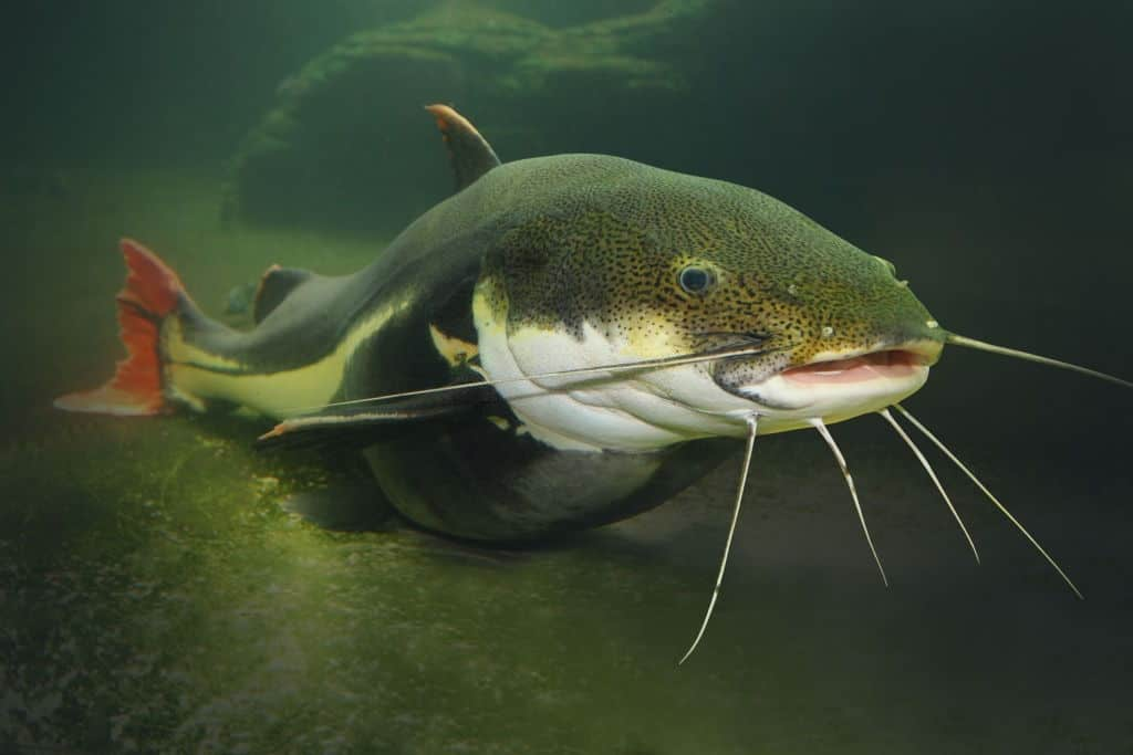 signs of pregnancy in catfish
