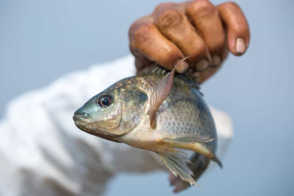 further explanation behind tilapia and its dirt flavor