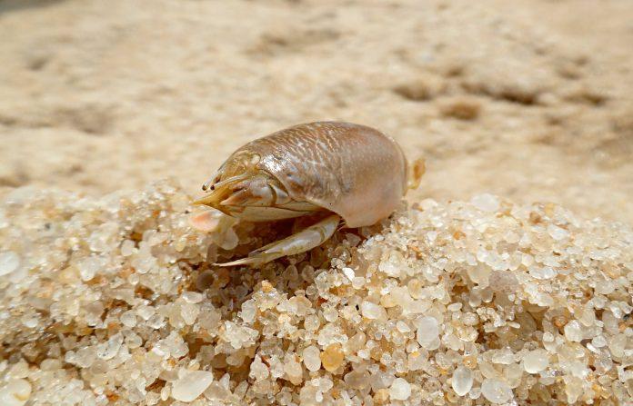 how to preserve sand fleas