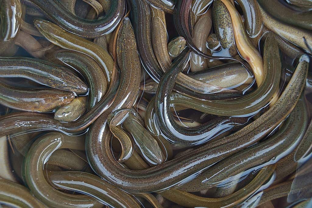 why use eels for bait