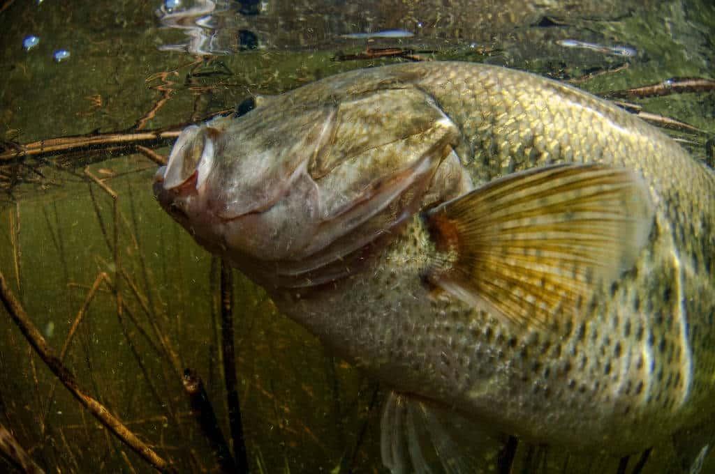 bass spawn In california