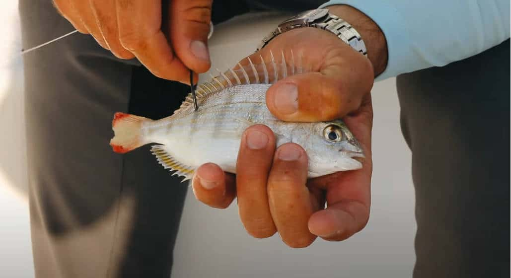 can you catch with pinfish