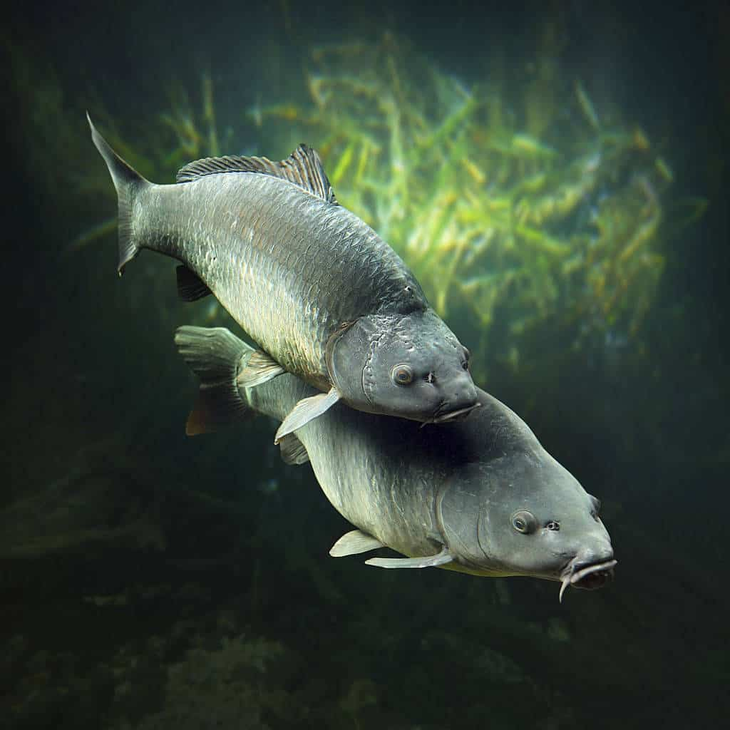 carp spawn