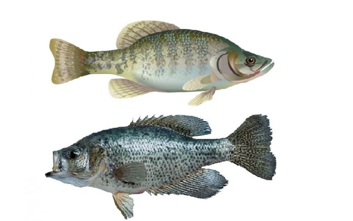 difference between black and white crappie