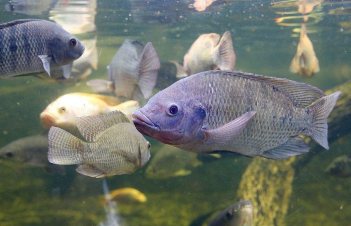how to fish for tilapia in a pond