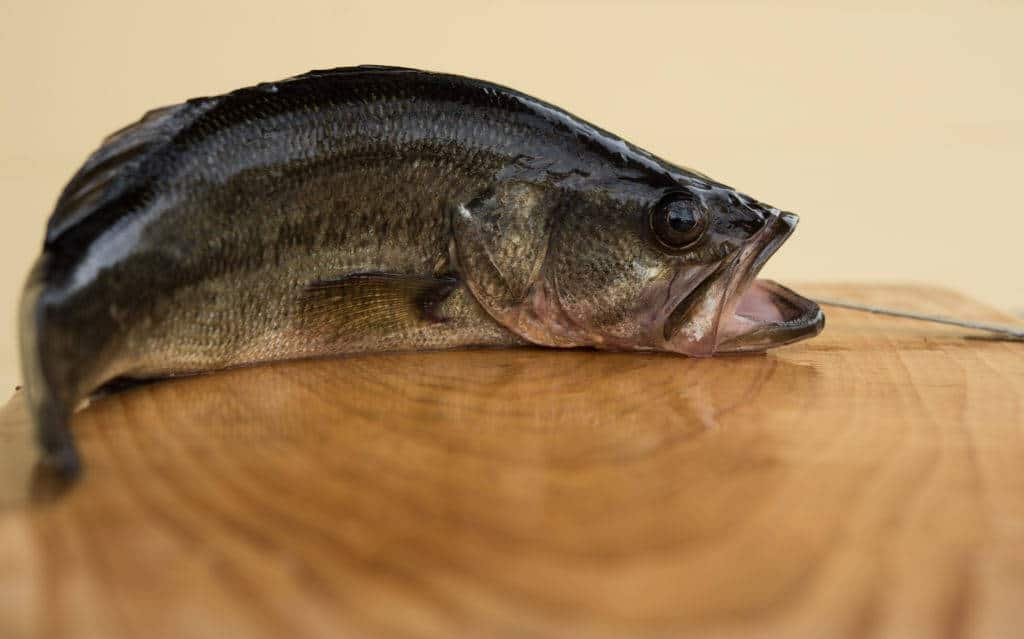 largemouth bass taste