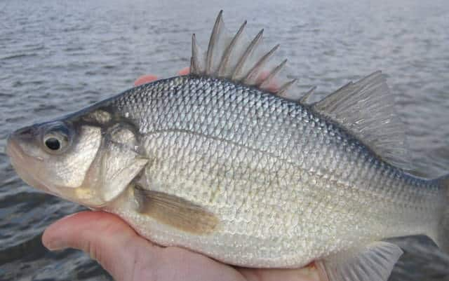 When Do White Perch Spawn In Louisiana? The Answers Here!