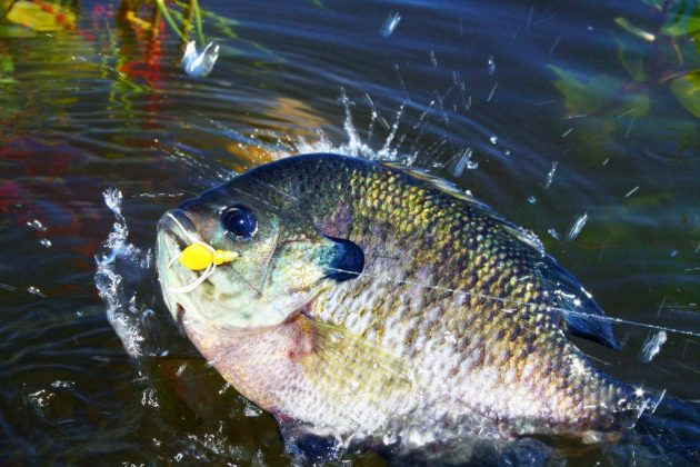 when is the best time to fish for bluegill