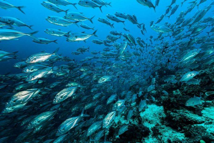when do mackerel run in maine