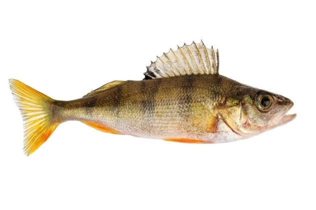 when do yellow perch spawn in maryland