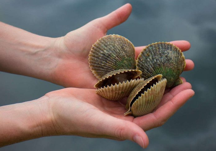 how to catch scallops in florida