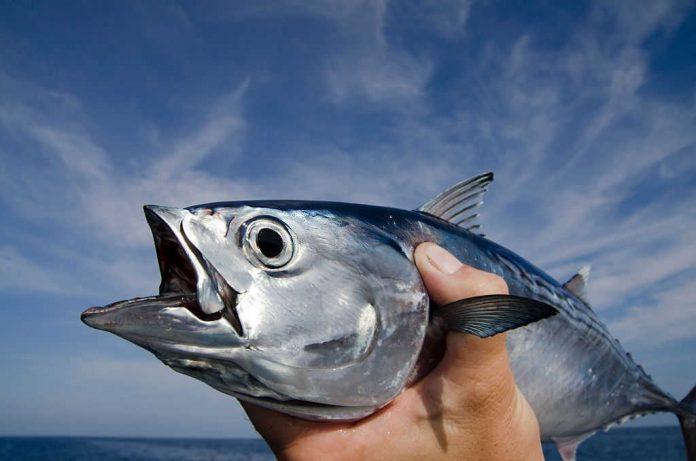 where to catch tuna in florida