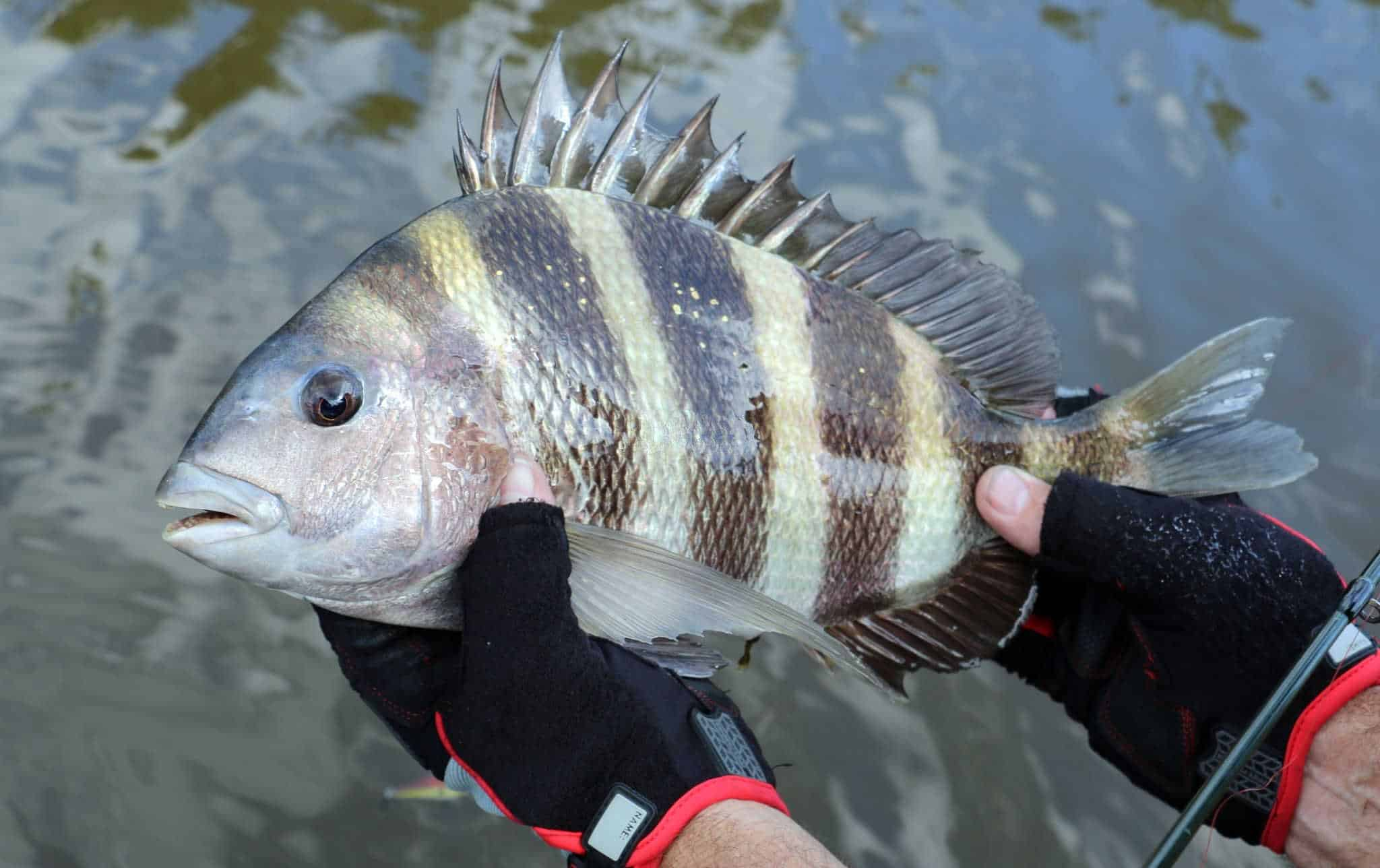 best time to catch sheepshead