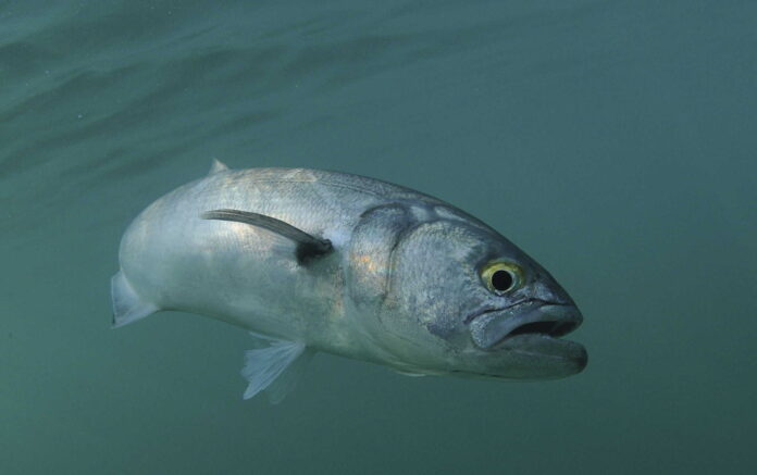 surf fishing for bluefish
