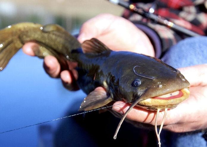 are bullhead catfish good to eat