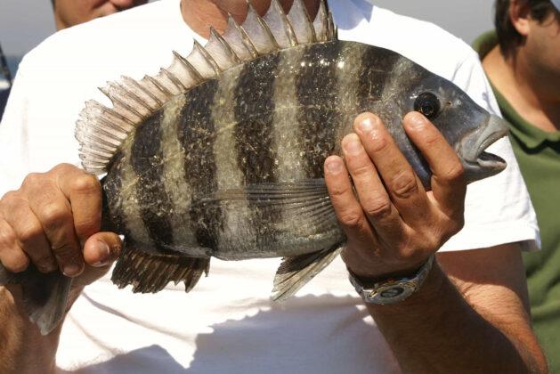 what does sheepshead fish taste like