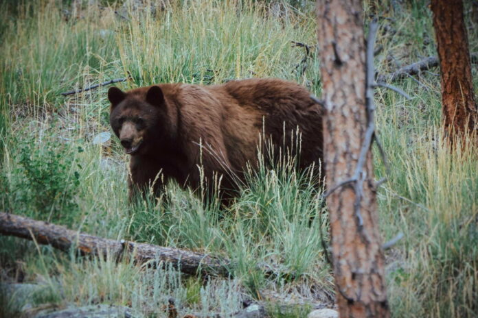 how to hunt black bear without bait