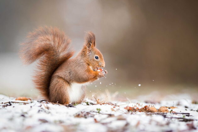 how to hunt squirrels in winter