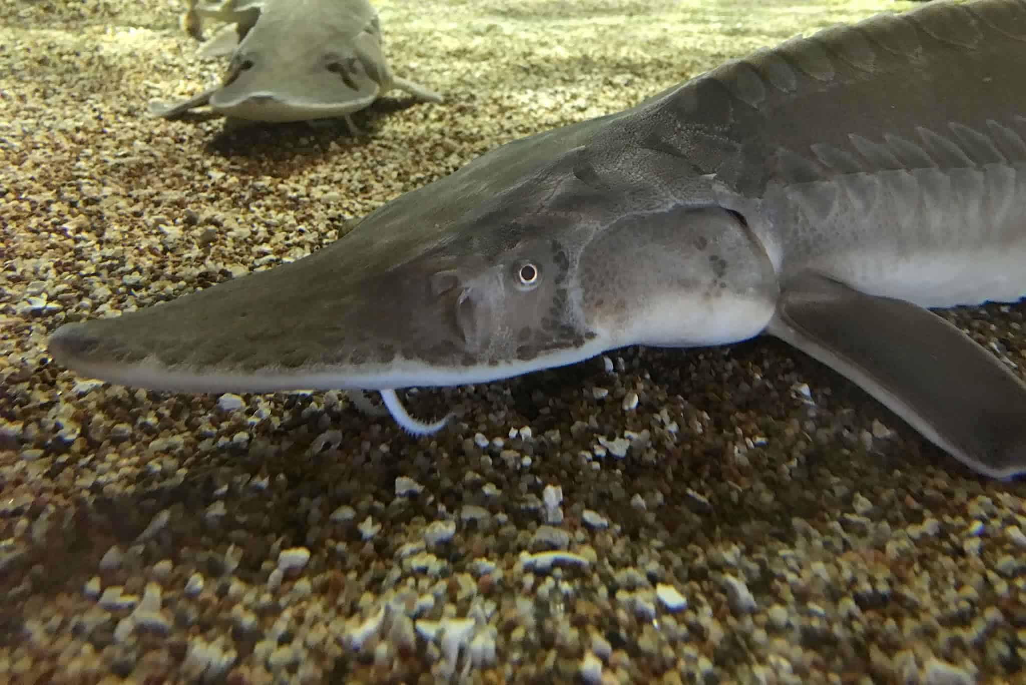 pallid and shovelnose sturgeon in the mississippi river