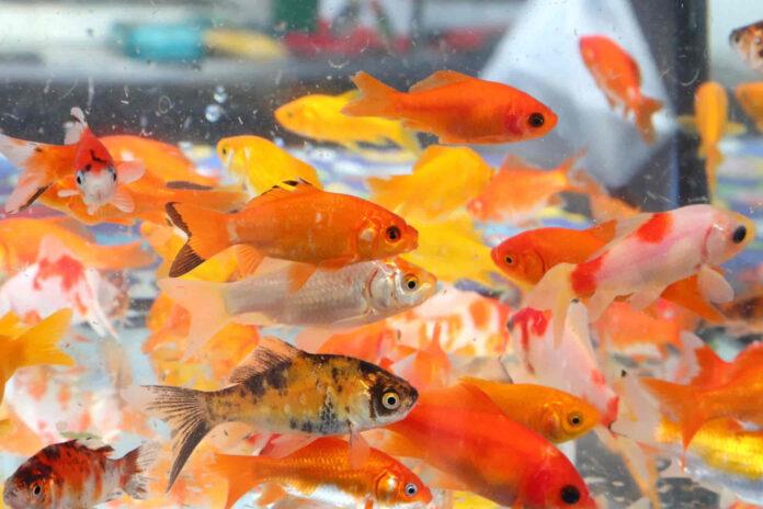 raising goldfish for bait