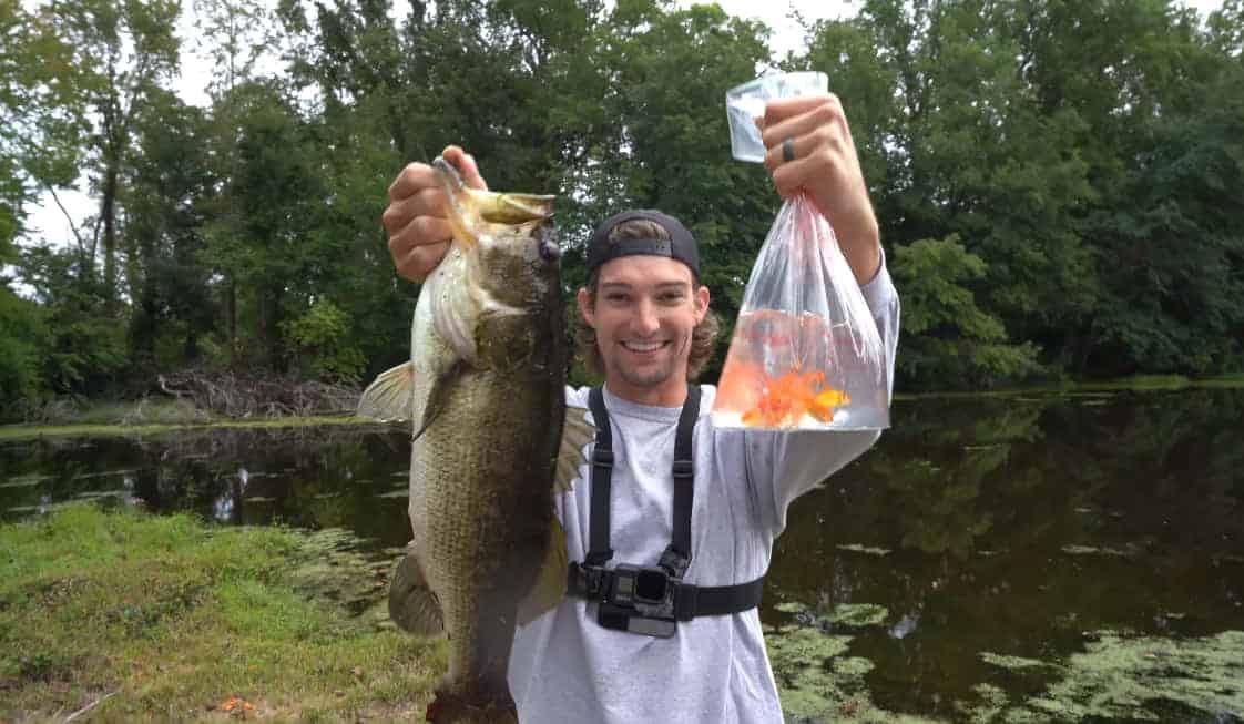 raising goldfish for bait-how it's done