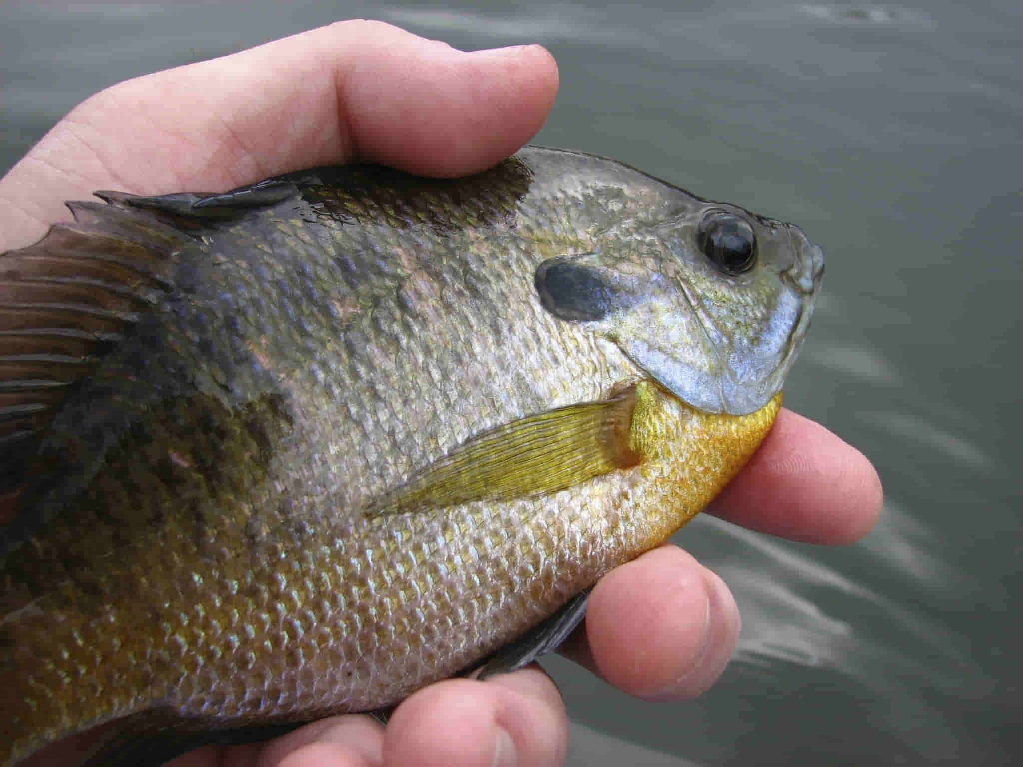 what is bluegill's flavor similar to