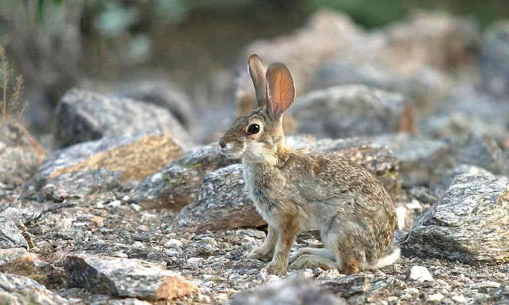 where to hunt rabbits in arizona