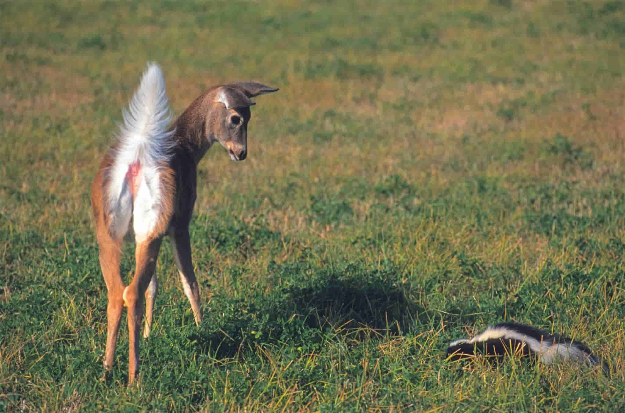 how to preserve a deer tail