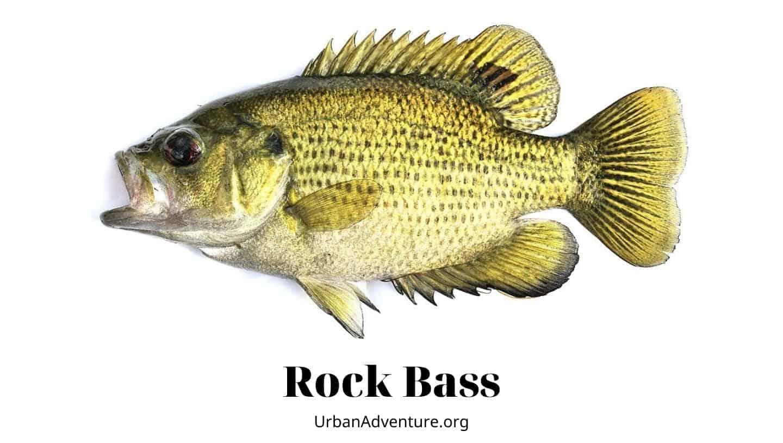 rock bass facts