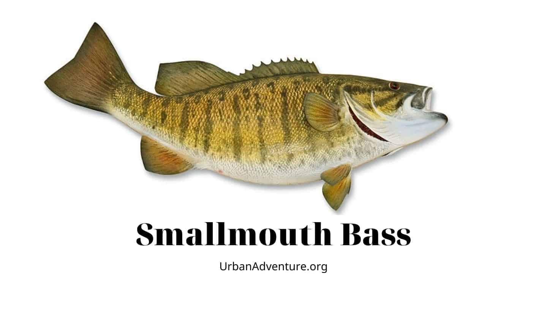 smallmouth bass facts