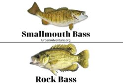 Smallmouth Bass Vs Rock Bass – Interesting Facts Between The Two!