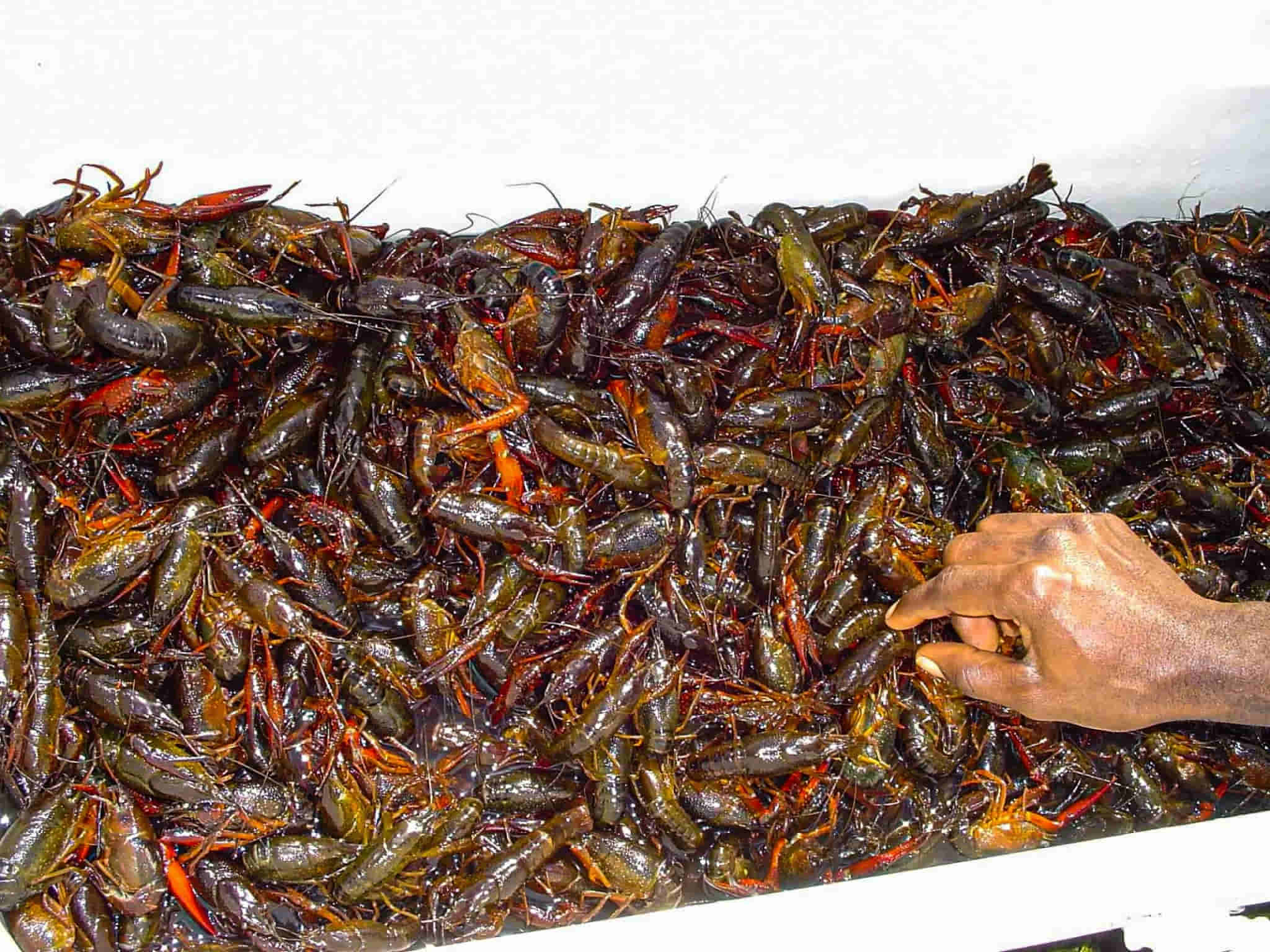 how to keep crawfish alive overnight