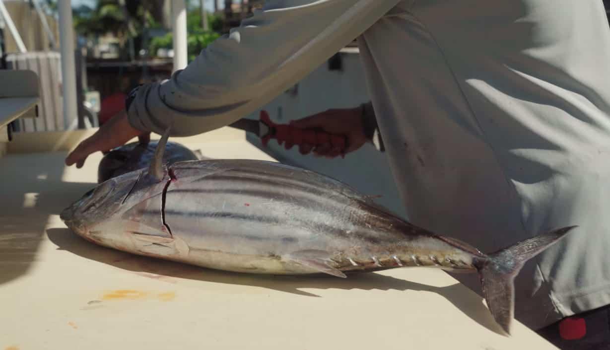 is skipjack tuna good to eat