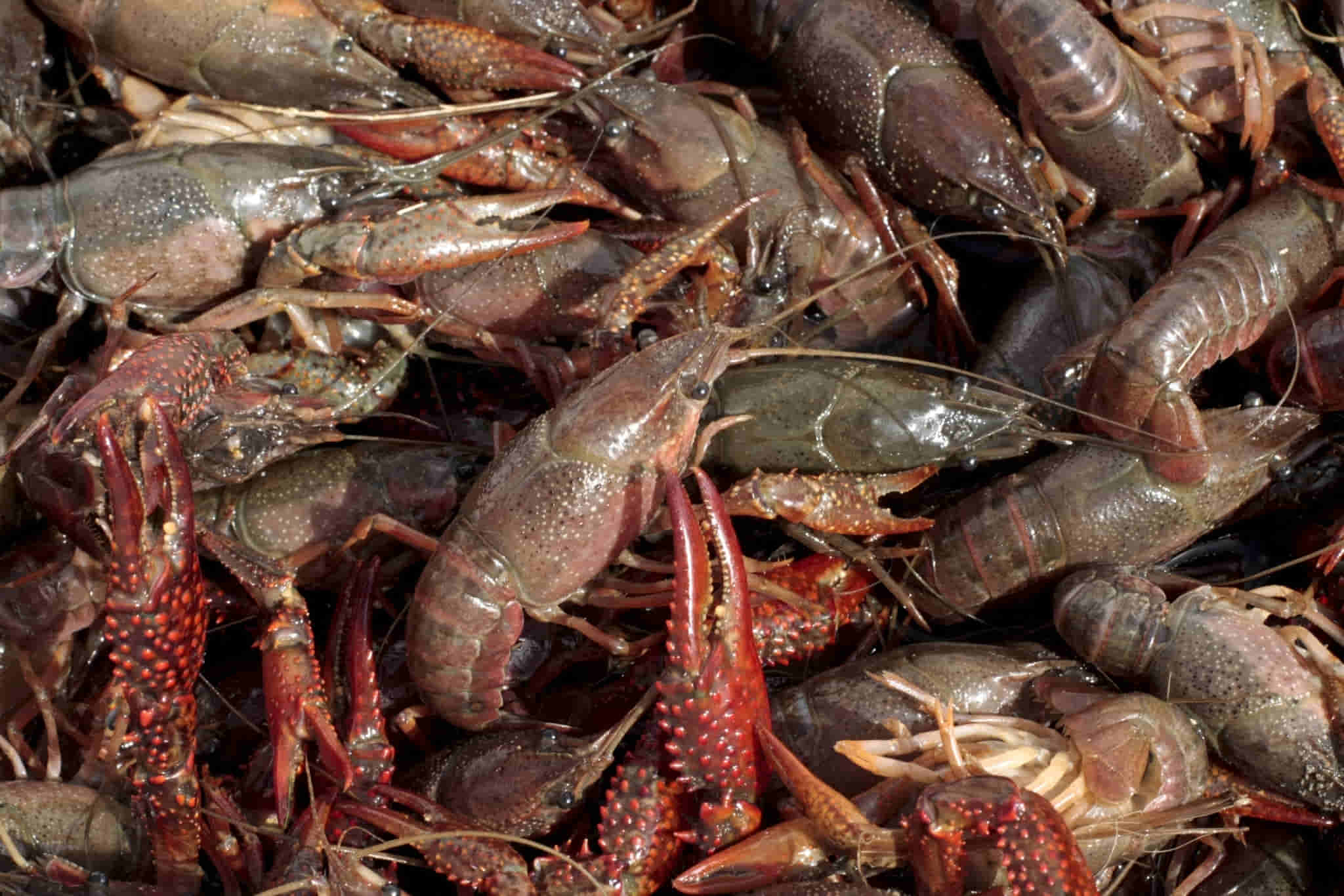 keeping crawfish alive with proper handling and storage