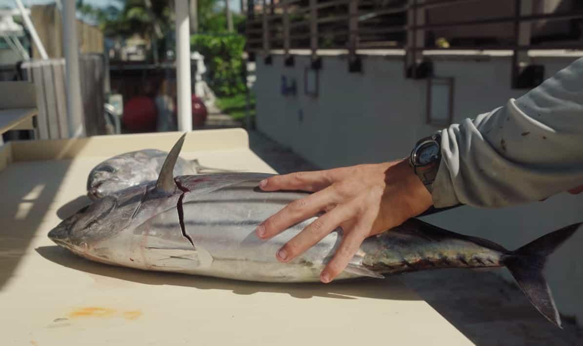 preparing skipjack tuna for cooking